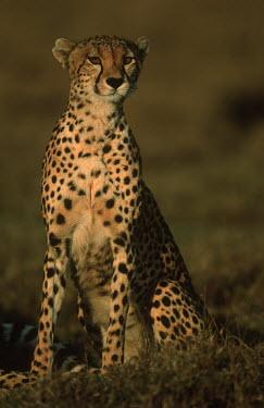 Cheetah portrait - Africa Marine snail,Gastropoda,Chordates,Chordata,Carnivores,Carnivora,Mammalia,Mammals,Felidae,Cats,Gu�pard,Chita,Guepardo,jubatus,Savannah,Appendix I,Africa,Acinonyx,Critically Endangered,Carnivorous,Terre
