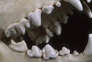 Spotted hyaena skull showing carnassial teeth - Sub-Saharan Africa Garden snail,Cantareus aspersus.,Chordates,Chordata,Hyaenidae,Hyenas, Aardwolves,Carnivores,Carnivora,Mammalia,Mammals,laughing hyena,laughing hyaena,spotted hyena,Savannah,crocuta,Carnivorous,Least C