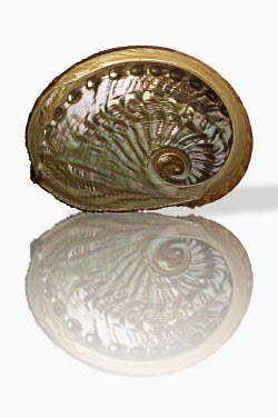Emma's Abalone, on white background, digital composite Garden snail,Cantareus aspersus.
