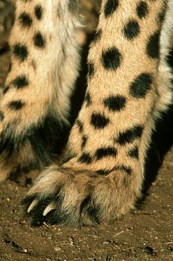 Close-up of cheetah feet showing non-retractable claws - Africa Emma's Abalone,Haliotis emmae,Chordates,Chordata,Carnivores,Carnivora,Mammalia,Mammals,Felidae,Cats,Gu�pard,Chita,Guepardo,jubatus,Savannah,Appendix I,Africa,Acinonyx,Critically Endangered,Carnivorous