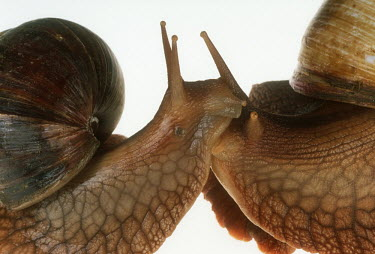 Close up of two bushveld land snails shot in a studio setting Bull mouth helmet,Cypraecassis rufa