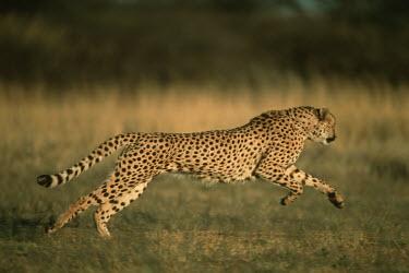 Cheetah hunting - Africa Big cat,Cheetah,Acinonyx jubatus,Chordates,Chordata,Carnivores,Carnivora,Mammalia,Mammals,Felidae,Cats,Gu�pard,Chita,Guepardo,jubatus,Savannah,Appendix I,Africa,Acinonyx,Critically Endangered,Carnivor