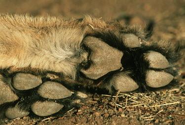 Close-up of cheetah feet showing non-retractable claws - Africa Bushveld land snail,Achatina immaculata,Chordates,Chordata,Carnivores,Carnivora,Mammalia,Mammals,Felidae,Cats,Gu�pard,Chita,Guepardo,jubatus,Savannah,Appendix I,Africa,Acinonyx,Critically Endangered,C