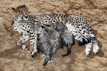 Cheetah mother with suckling cubs - Namibia, Africa Big cat,Cheetah,Acinonyx jubatus,Chordates,Chordata,Carnivores,Carnivora,Mammalia,Mammals,Felidae,Cats,Gu�pard,Chita,Guepardo,jubatus,Savannah,Appendix I,Africa,Acinonyx,Critically Endangered,Carnivor