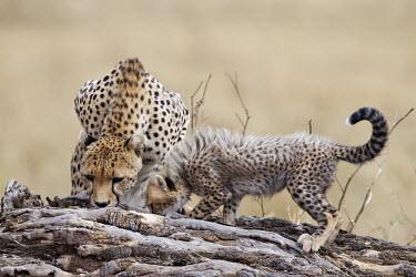Cheetah female and cub scent marking - Kenya, Africa Big cat,Cheetah,Acinonyx jubatus,Chordates,Chordata,Carnivores,Carnivora,Mammalia,Mammals,Felidae,Cats,Gu�pard,Chita,Guepardo,jubatus,Savannah,Appendix I,Africa,Acinonyx,Critically Endangered,Carnivor