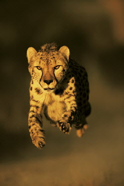 Cheetah hunting, running towards camera - Africa Big cat,Cheetah,Acinonyx jubatus,Chordates,Chordata,Carnivores,Carnivora,Mammalia,Mammals,Felidae,Cats,Gu�pard,Chita,Guepardo,jubatus,Savannah,Appendix I,Africa,Acinonyx,Critically Endangered,Carnivor