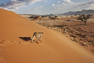 Cheetah walking across a desert landscape - Namibia, Africa Big cat,Cheetah,Acinonyx jubatus,Chordates,Chordata,Carnivores,Carnivora,Mammalia,Mammals,Felidae,Cats,Gu�pard,Chita,Guepardo,jubatus,Savannah,Appendix I,Africa,Acinonyx,Critically Endangered,Carnivor