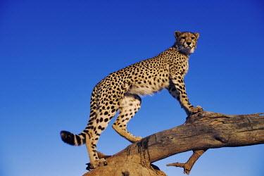 Cheetah using termite mound and branch as a vantage point - Africa Big cat,Cheetah,Acinonyx jubatus,Chordates,Chordata,Carnivores,Carnivora,Mammalia,Mammals,Felidae,Cats,Gu�pard,Chita,Guepardo,jubatus,Savannah,Appendix I,Africa,Acinonyx,Critically Endangered,Carnivor