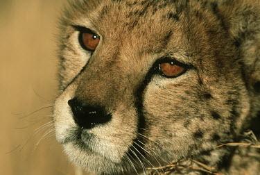 Young cheetah portrait - Africa Big cat,Cheetah,Acinonyx jubatus,Chordates,Chordata,Carnivores,Carnivora,Mammalia,Mammals,Felidae,Cats,Gu�pard,Chita,Guepardo,jubatus,Savannah,Appendix I,Africa,Acinonyx,Critically Endangered,Carnivor