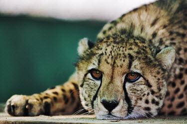 Cheetah lying with head on the floor - Namibia, Africa Big cat,Leopard,Panthera pardus,Chordates,Chordata,Carnivores,Carnivora,Mammalia,Mammals,Felidae,Cats,Gu�pard,Chita,Guepardo,jubatus,Savannah,Appendix I,Africa,Acinonyx,Critically Endangered,Carnivoro