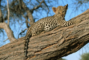 Two month old leopard cub resting in a tree - Africa Big cat,Cheetah,Acinonyx jubatus,Chordates,Chordata,Felidae,Cats,Mammalia,Mammals,Carnivores,Carnivora,Pantera,L�opard,Panth�re,Leopardo,Temperate,Savannah,Asia,Appendix I,Carnivorous,Panthera,Near Th
