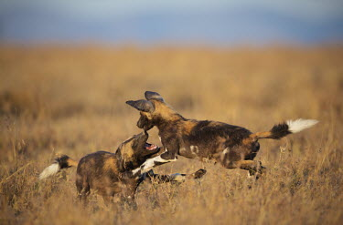 A pair of African wild dogs playing - Kenya. Africa Bushveld land snail,Achatina immaculata,Carnivores,Carnivora,Mammalia,Mammals,Chordates,Chordata,Dog, Coyote, Wolf, Fox,Canidae,painted hunting dog,Cape hunting dog,Lycaon,Licaon,Cynhyene,Loup-peint,S