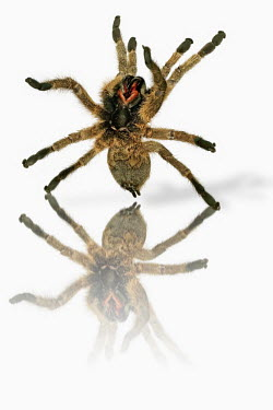 Baboon spider rearing up on hind legs, shot in a studio setting Big cat,Cheetah,Acinonyx jubatus