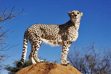 Female cheetah standing on a termite mound - Namibia, Africa Big cat,Leopard,Panthera pardus,Chordates,Chordata,Carnivores,Carnivora,Mammalia,Mammals,Felidae,Cats,Gu�pard,Chita,Guepardo,jubatus,Savannah,Appendix I,Africa,Acinonyx,Critically Endangered,Carnivoro
