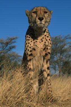 Cheetah portrait - Africa Big cat,Cheetah,Acinonyx jubatus,Chordates,Chordata,Carnivores,Carnivora,Mammalia,Mammals,Felidae,Cats,Gu�pard,Chita,Guepardo,jubatus,Savannah,Appendix I,Africa,Acinonyx,Critically Endangered,Carnivor