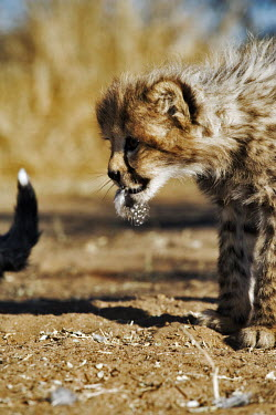 Cheetah cub feeding on a guinefowl - Namibia, Africa Meerkat,Suricata suricatta,Chordates,Chordata,Carnivores,Carnivora,Mammalia,Mammals,Felidae,Cats,Gu�pard,Chita,Guepardo,jubatus,Savannah,Appendix I,Africa,Acinonyx,Critically Endangered,Carnivorous,Te