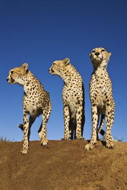 Cheetahs using termite mound as a vantage point - Africa Big cat,Cheetah,Acinonyx jubatus,Chordates,Chordata,Carnivores,Carnivora,Mammalia,Mammals,Felidae,Cats,Gu�pard,Chita,Guepardo,jubatus,Savannah,Appendix I,Africa,Acinonyx,Critically Endangered,Carnivor