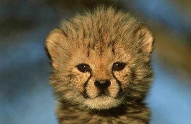Six week old cheetah cub portrait - Africa African Wild Dog,Lycaon pictus,Chordates,Chordata,Carnivores,Carnivora,Mammalia,Mammals,Felidae,Cats,Gu�pard,Chita,Guepardo,jubatus,Savannah,Appendix I,Africa,Acinonyx,Critically Endangered,Carnivorou