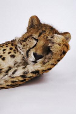 Cheetah with a paw covering its eye. Studio shot with a white background - Africa Big cat,Cheetah,Acinonyx jubatus,Chordates,Chordata,Carnivores,Carnivora,Mammalia,Mammals,Felidae,Cats,Gu�pard,Chita,Guepardo,jubatus,Savannah,Appendix I,Africa,Acinonyx,Critically Endangered,Carnivor