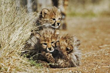 Cheetah cubs playing - Namibia, Africa Big cat,Cheetah,Acinonyx jubatus,Chordates,Chordata,Carnivores,Carnivora,Mammalia,Mammals,Felidae,Cats,Gu�pard,Chita,Guepardo,jubatus,Savannah,Appendix I,Africa,Acinonyx,Critically Endangered,Carnivor