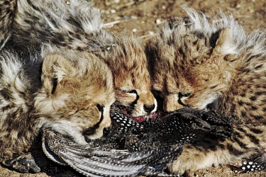 Cheetah cubs feeding on a guinefowl - Namibia, Africa Big cat,Cheetah,Acinonyx jubatus,Chordates,Chordata,Carnivores,Carnivora,Mammalia,Mammals,Felidae,Cats,Gu�pard,Chita,Guepardo,jubatus,Savannah,Appendix I,Africa,Acinonyx,Critically Endangered,Carnivor