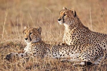 Pair of cheetahs lying in the grass - Kenya, Africa Big cat,Cheetah,Acinonyx jubatus,Chordates,Chordata,Carnivores,Carnivora,Mammalia,Mammals,Felidae,Cats,Gu�pard,Chita,Guepardo,jubatus,Savannah,Appendix I,Africa,Acinonyx,Critically Endangered,Carnivor
