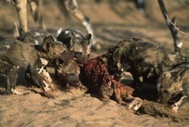 African wild dog pups feeding - Sub-Saharan Africa Ethiopian Wolf,Canis simensis,Carnivores,Carnivora,Mammalia,Mammals,Chordates,Chordata,Dog, Coyote, Wolf, Fox,Canidae,painted hunting dog,Cape hunting dog,Lycaon,Licaon,Cynhyene,Loup-peint,Savannah,Ca