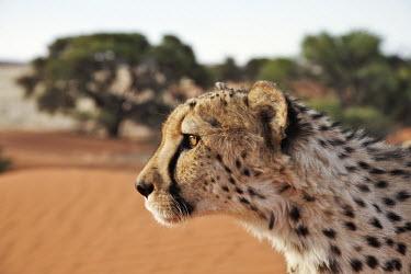 Cheetah head side-on portrait - Namibia, Africa Big cat,Cheetah,Acinonyx jubatus,Chordates,Chordata,Carnivores,Carnivora,Mammalia,Mammals,Felidae,Cats,Gu�pard,Chita,Guepardo,jubatus,Savannah,Appendix I,Africa,Acinonyx,Critically Endangered,Carnivor