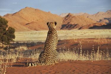 Cheetah sitting with back to camera in a desert landscape - Namibia, Africa African Wild Dog,Lycaon pictus,Chordates,Chordata,Carnivores,Carnivora,Mammalia,Mammals,Felidae,Cats,Gu�pard,Chita,Guepardo,jubatus,Savannah,Appendix I,Africa,Acinonyx,Critically Endangered,Carnivorou