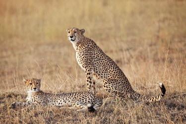 Pair of cheetahs in the grassland - Kenya, Africa Big cat,Cheetah,Acinonyx jubatus,Chordates,Chordata,Carnivores,Carnivora,Mammalia,Mammals,Felidae,Cats,Gu�pard,Chita,Guepardo,jubatus,Savannah,Appendix I,Africa,Acinonyx,Critically Endangered,Carnivor