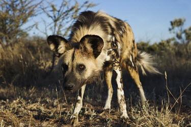African wild dog head bent low - Sub-Saharan Africa Big cat,Cheetah,Acinonyx jubatus,Carnivores,Carnivora,Mammalia,Mammals,Chordates,Chordata,Dog, Coyote, Wolf, Fox,Canidae,painted hunting dog,Cape hunting dog,Lycaon,Licaon,Cynhyene,Loup-peint,Savannah