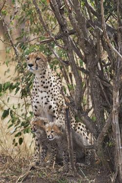 Cheetah mother with cubs in shade - Kenya, Africa African Wild Dog,Lycaon pictus,Chordates,Chordata,Carnivores,Carnivora,Mammalia,Mammals,Felidae,Cats,Gu�pard,Chita,Guepardo,jubatus,Savannah,Appendix I,Africa,Acinonyx,Critically Endangered,Carnivorou