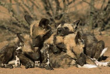 African wild dog pups huddle together for warmth & security - Sub-Saharan Africa Big cat,Leopard,Panthera pardus,Carnivores,Carnivora,Mammalia,Mammals,Chordates,Chordata,Dog, Coyote, Wolf, Fox,Canidae,painted hunting dog,Cape hunting dog,Lycaon,Licaon,Cynhyene,Loup-peint,Savannah,