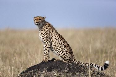 Cheetah sitting on a termite mound in grassland - Africa African Wild Dog,Lycaon pictus,Chordates,Chordata,Carnivores,Carnivora,Mammalia,Mammals,Felidae,Cats,Gu�pard,Chita,Guepardo,jubatus,Savannah,Appendix I,Africa,Acinonyx,Critically Endangered,Carnivorou
