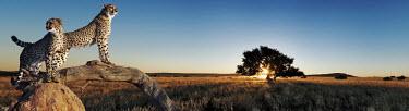 Couple of cheetahs using termite mound and branch as a vantage point - Africa Big cat,Cheetah,Acinonyx jubatus,Chordates,Chordata,Carnivores,Carnivora,Mammalia,Mammals,Felidae,Cats,Gu�pard,Chita,Guepardo,jubatus,Savannah,Appendix I,Africa,Acinonyx,Critically Endangered,Carnivor