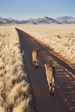Pair of cheetahs walking down dirt road - Namibia, Africa Big cat,Cheetah,Acinonyx jubatus,Chordates,Chordata,Carnivores,Carnivora,Mammalia,Mammals,Felidae,Cats,Gu�pard,Chita,Guepardo,jubatus,Savannah,Appendix I,Africa,Acinonyx,Critically Endangered,Carnivor