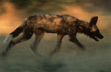 African wild dog running quickly - Sub-Saharan Africa African Wild Dog,Lycaon pictus,Carnivores,Carnivora,Mammalia,Mammals,Chordates,Chordata,Dog, Coyote, Wolf, Fox,Canidae,painted hunting dog,Cape hunting dog,Lycaon,Licaon,Cynhyene,Loup-peint,Savannah,C