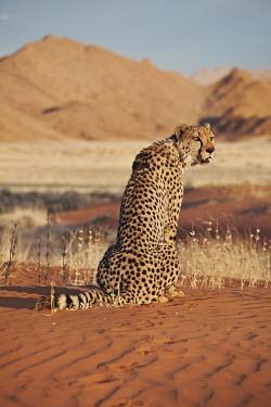 Cheetah sitting and turning head in a desert landscape - Namibia, Africa African Wild Dog,Lycaon pictus,Chordates,Chordata,Carnivores,Carnivora,Mammalia,Mammals,Felidae,Cats,Gu�pard,Chita,Guepardo,jubatus,Savannah,Appendix I,Africa,Acinonyx,Critically Endangered,Carnivorou