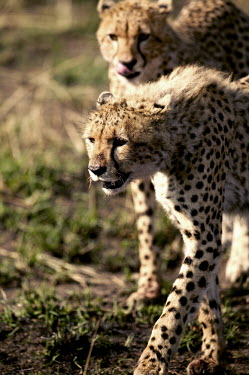 Sub-adult cheetah cubs practise hunting - Kenya, Africa Big cat,Cheetah,Acinonyx jubatus,Chordates,Chordata,Carnivores,Carnivora,Mammalia,Mammals,Felidae,Cats,Gu�pard,Chita,Guepardo,jubatus,Savannah,Appendix I,Africa,Acinonyx,Critically Endangered,Carnivor