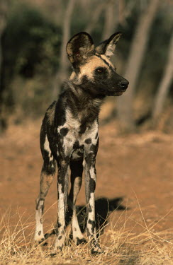 African wild dog standing - Sub-Saharan Africa Big cat,Cheetah,Acinonyx jubatus,Carnivores,Carnivora,Mammalia,Mammals,Chordates,Chordata,Dog, Coyote, Wolf, Fox,Canidae,painted hunting dog,Cape hunting dog,Lycaon,Licaon,Cynhyene,Loup-peint,Savannah