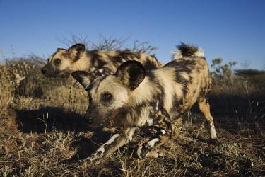 African wild dogs hunting - Sub-Saharan Africa Big cat,Cheetah,Acinonyx jubatus,Carnivores,Carnivora,Mammalia,Mammals,Chordates,Chordata,Dog, Coyote, Wolf, Fox,Canidae,painted hunting dog,Cape hunting dog,Lycaon,Licaon,Cynhyene,Loup-peint,Savannah