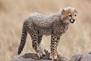 Cheetah cub standing on a rock - Kenya, Africa African Wild Dog,Lycaon pictus,Chordates,Chordata,Carnivores,Carnivora,Mammalia,Mammals,Felidae,Cats,Gu�pard,Chita,Guepardo,jubatus,Savannah,Appendix I,Africa,Acinonyx,Critically Endangered,Carnivorou