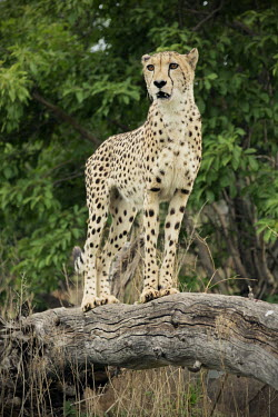 Female cheetah standing on a wooden log - Namibia, Africa African Wild Dog,Lycaon pictus,Chordates,Chordata,Carnivores,Carnivora,Mammalia,Mammals,Felidae,Cats,Gu�pard,Chita,Guepardo,jubatus,Savannah,Appendix I,Africa,Acinonyx,Critically Endangered,Carnivorou