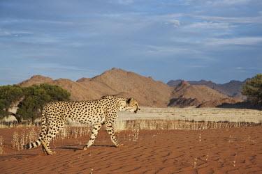 Cheetah walking through desert landscape - Namibia, Africa African Wild Dog,Lycaon pictus,Chordates,Chordata,Carnivores,Carnivora,Mammalia,Mammals,Felidae,Cats,Gu�pard,Chita,Guepardo,jubatus,Savannah,Appendix I,Africa,Acinonyx,Critically Endangered,Carnivorou