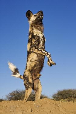 African wild dog standing on hind legs - Sub-Saharan Africa Big cat,Cheetah,Acinonyx jubatus,Carnivores,Carnivora,Mammalia,Mammals,Chordates,Chordata,Dog, Coyote, Wolf, Fox,Canidae,painted hunting dog,Cape hunting dog,Lycaon,Licaon,Cynhyene,Loup-peint,Savannah