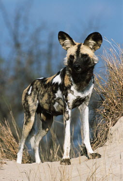 African wild dog standing on a termite mound - Sub-Saharan Africa African Wild Dog,Lycaon pictus,Carnivores,Carnivora,Mammalia,Mammals,Chordates,Chordata,Dog, Coyote, Wolf, Fox,Canidae,painted hunting dog,Cape hunting dog,Lycaon,Licaon,Cynhyene,Loup-peint,Savannah,C