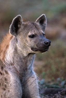 Spotted hyaena portrait - Sub-Saharan Africa Big cat,Cheetah,Acinonyx jubatus,Chordates,Chordata,Hyaenidae,Hyenas, Aardwolves,Carnivores,Carnivora,Mammalia,Mammals,laughing hyena,laughing hyaena,spotted hyena,Savannah,crocuta,Carnivorous,Least C