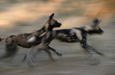 African wild dogs chasing prey - Sub-Saharan Africa Spotted hyaena,Crocuta crocuta,Carnivores,Carnivora,Mammalia,Mammals,Chordates,Chordata,Dog, Coyote, Wolf, Fox,Canidae,painted hunting dog,Cape hunting dog,Lycaon,Licaon,Cynhyene,Loup-peint,Savannah,C