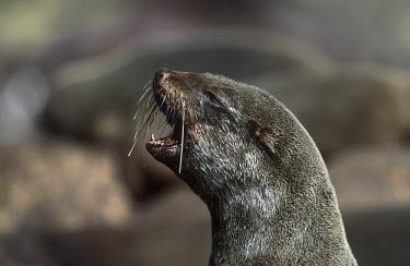 Cape fur seal calling - South Africa Spotted hyaena,Crocuta crocuta,Otariidae,Eared Seals,Carnivores,Carnivora,Chordates,Chordata,Mammalia,Mammals,Afro-Australian fur seal,Arctocephalus forsteri,Arctocephalus tasmanicus,South African fur