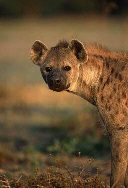 Spotted hyaena portrait looking at camera - Okovango Delta, Botswana, Africa Spotted hyaena,Crocuta crocuta,Chordates,Chordata,Hyaenidae,Hyenas, Aardwolves,Carnivores,Carnivora,Mammalia,Mammals,laughing hyena,laughing hyaena,spotted hyena,Savannah,crocuta,Carnivorous,Least Con